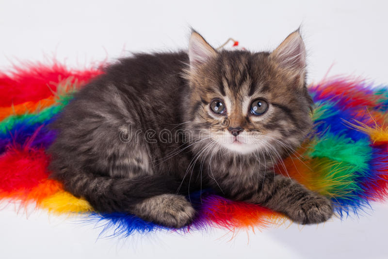Jong grijs katje royalty-vrije stock fotografie