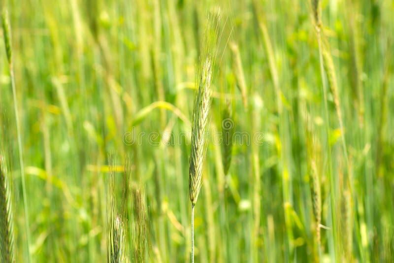 Jong groen aartje Graan op het gebied Jonge tarwekiem stock foto's