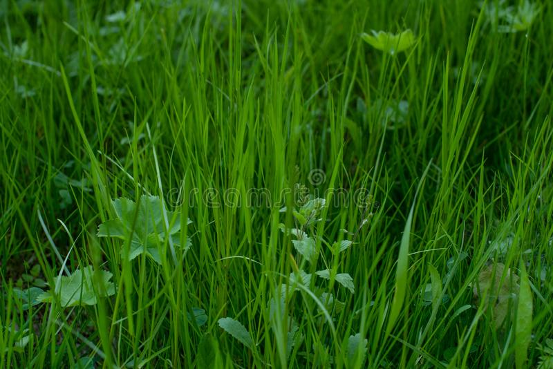 Jong groen gras royalty-vrije stock afbeelding