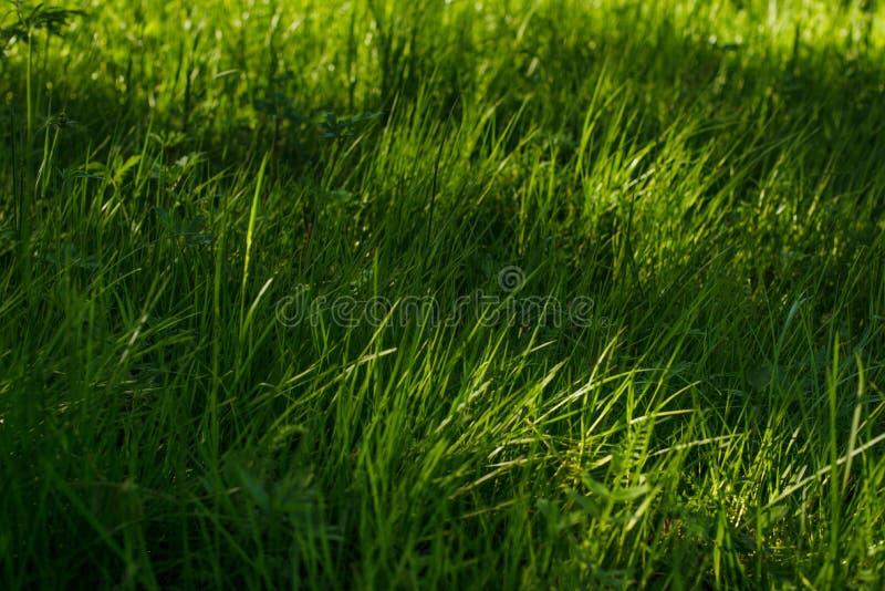 Jong groen gras royalty-vrije stock foto