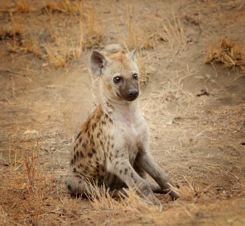 Jong hyenajong stock afbeeldingen