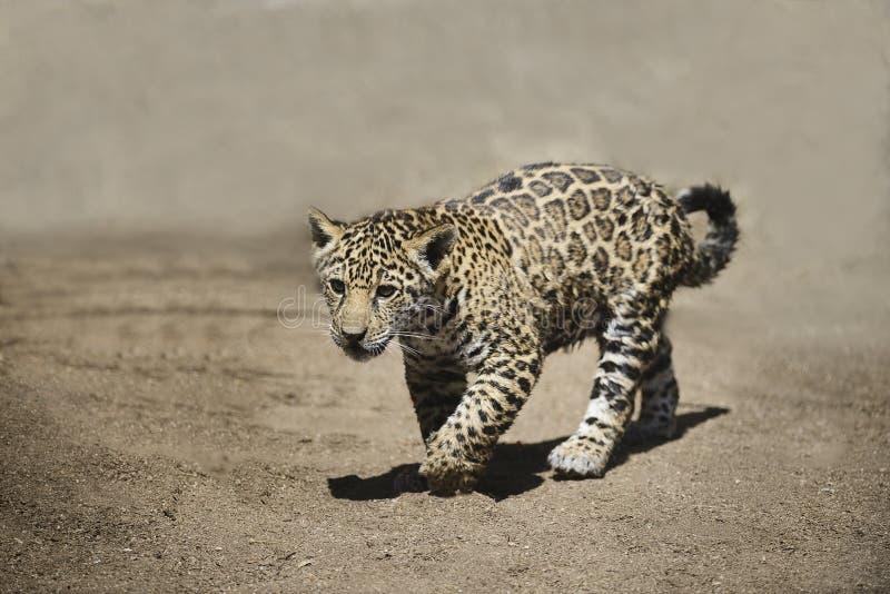Jong Jaguar stock fotografie