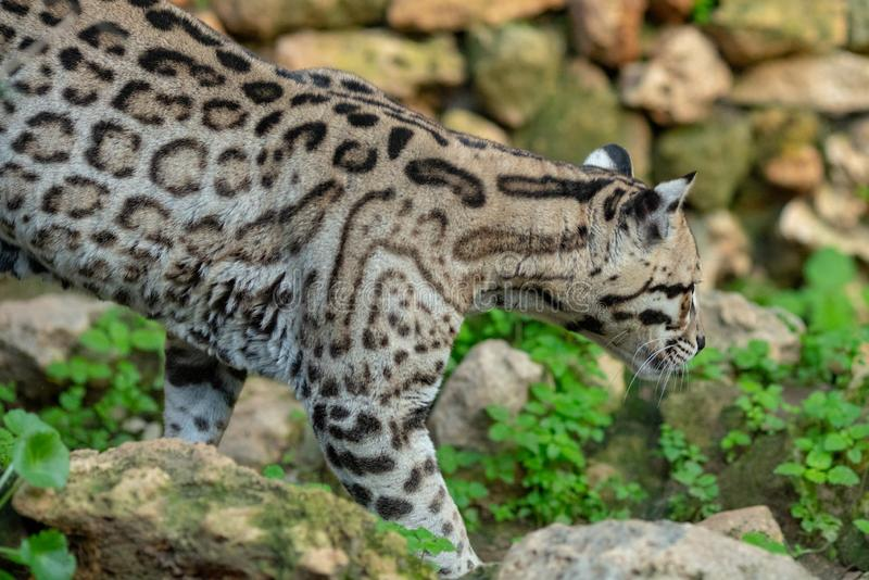 Jong Jaguar die de buurt onderzoeken bij de dierentuin royalty-vrije stock foto