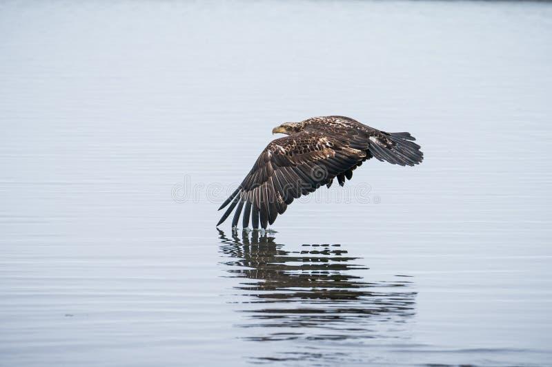 Jong Kaal Eagle tijdens de vlucht over Water royalty-vrije stock afbeelding