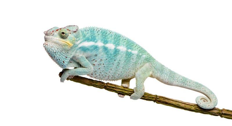 Jong Kameleon Furcifer Bemoeizieke Pardalis - ben royalty-vrije stock fotografie
