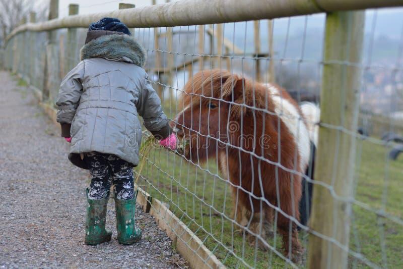 Jong kindervoedingsgras aan een bruine en witte miniatuurponey van Shetland royalty-vrije stock foto