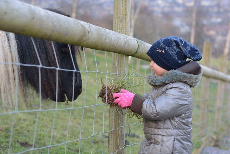 Jong kindervoedingsgras aan een zwart-witte miniatuurponey van Shetland stock foto's