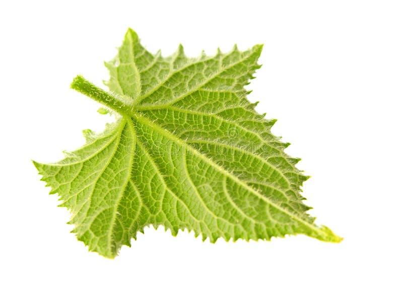Jong komkommerblad stock afbeelding