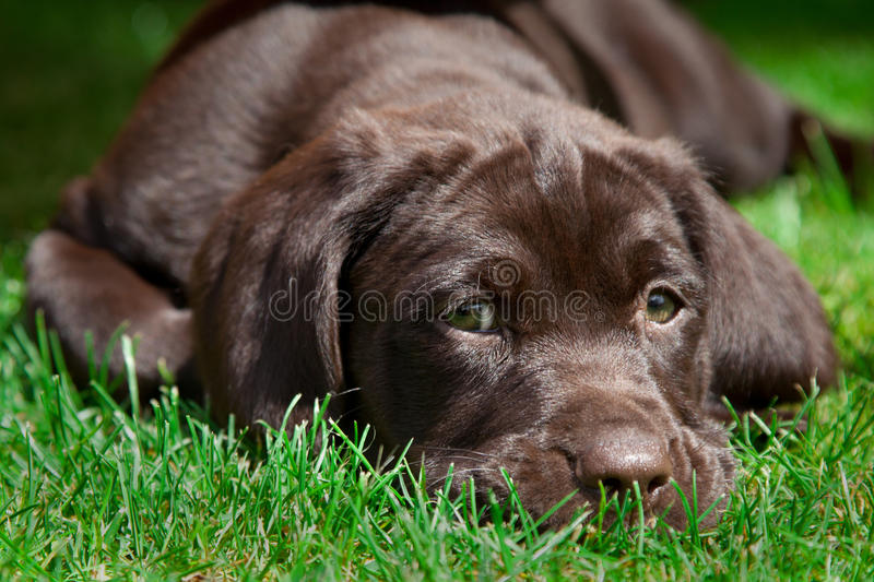 Jong labrador retriever-puppy stock fotografie