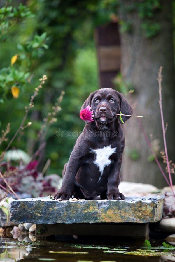 Jong labrador retriever-puppy met bloem stock afbeeldingen