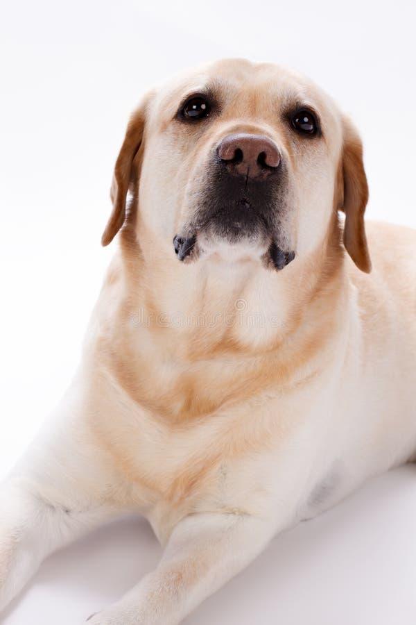 Jong labrador retriever, verscheidene maanden oud stock foto's