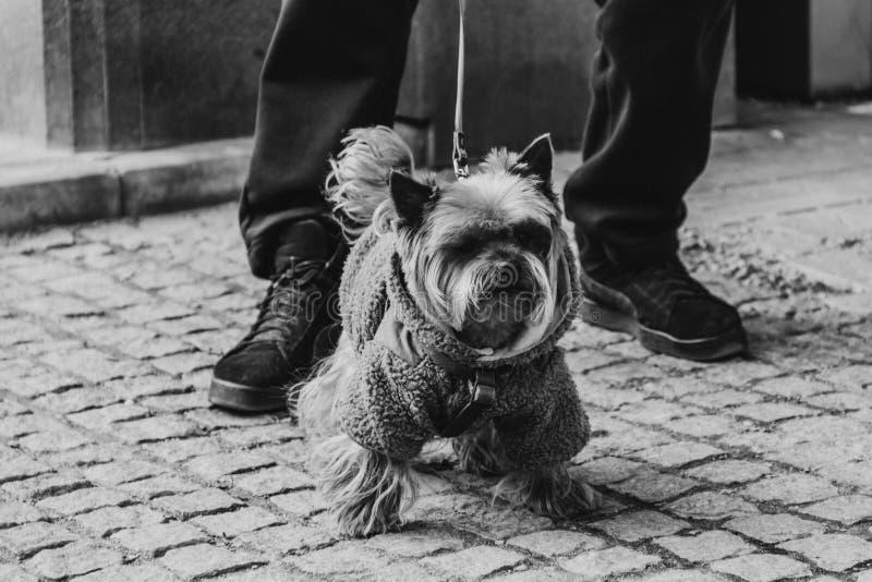 Jong mannelijk York zit bij de voeten van de eigenaar Een hond op een gang met een kraag en een leiband in een kostuum op een sto royalty-vrije stock fotografie