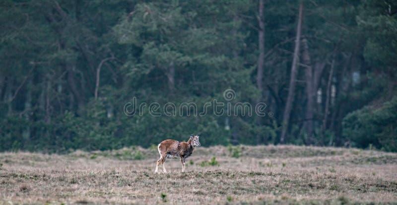 Jong mannetje die mouflon zich op gebied dichtbij pijnboombos bevinden royalty-vrije stock afbeelding