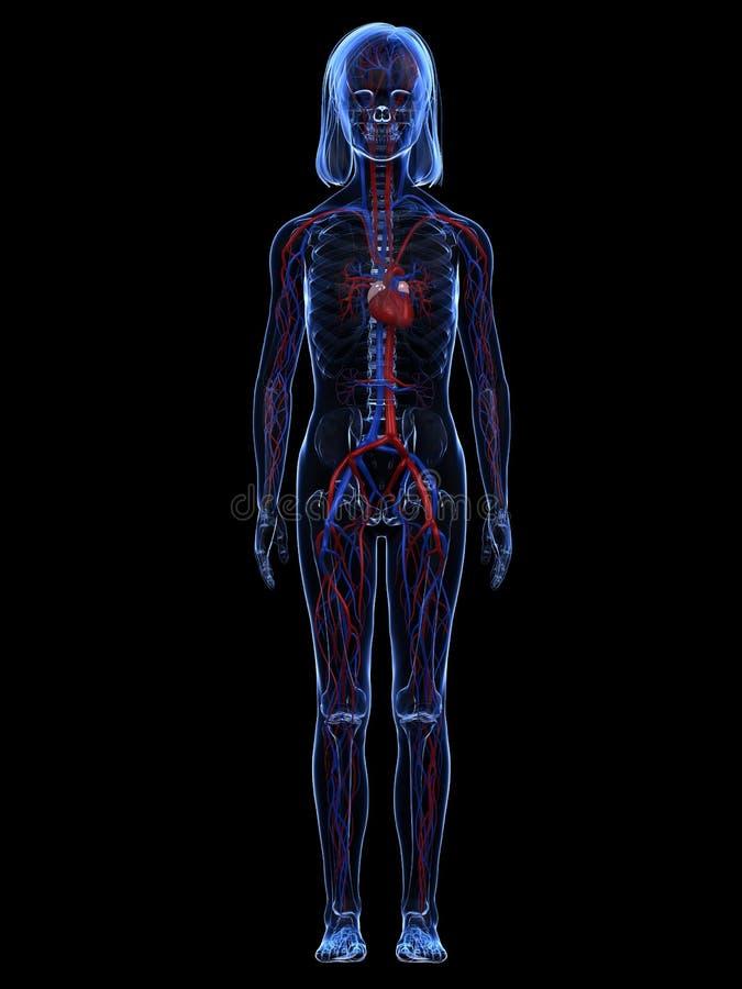 Jong meisje - anatomie vector illustratie