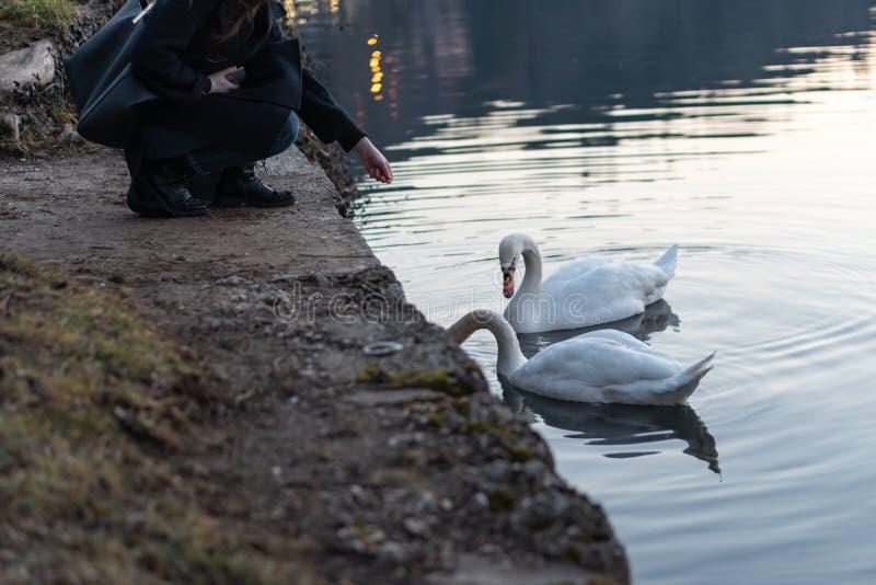 Jong meisje die mooie zwanen in het meer met bezinning voeden stock afbeeldingen