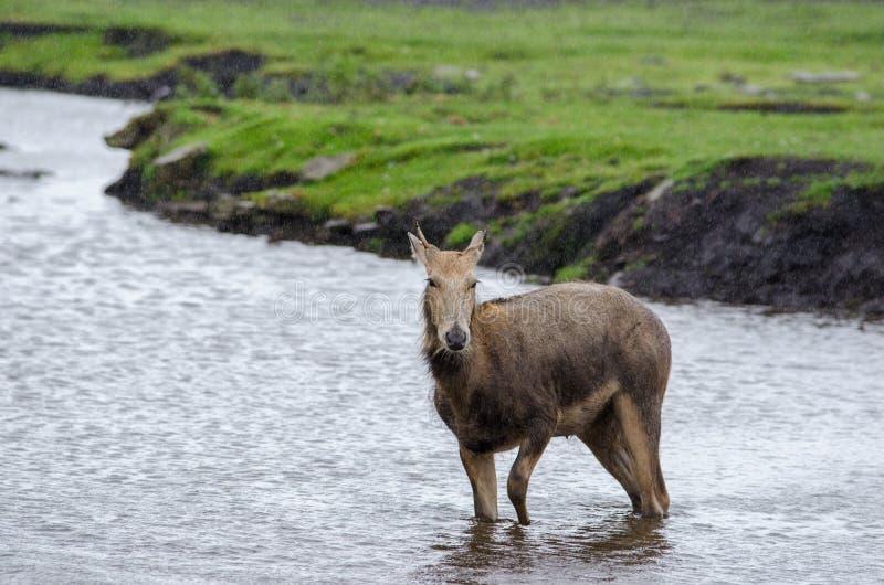 Jong Pere Davids Deer bevindt zich in een ondiepe rivier aangezien de regen rond het valt stock foto