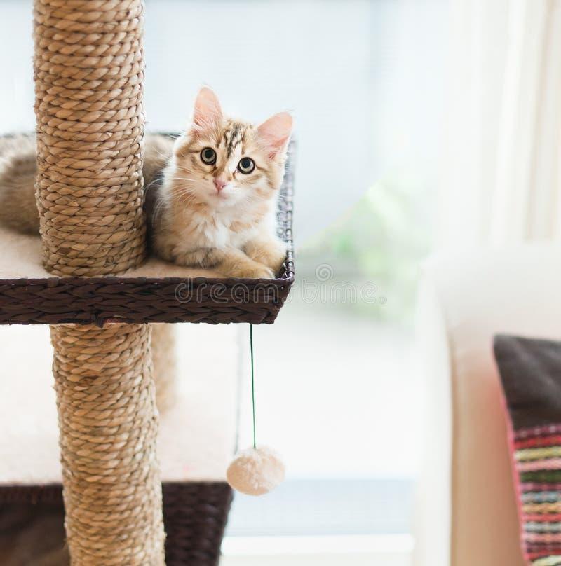 Jong pluizig grappig rood katje die op kattenboom bij vensterachtergrond liggen Rasechte Siberische kat Kat die Camera bekijkt stock afbeeldingen