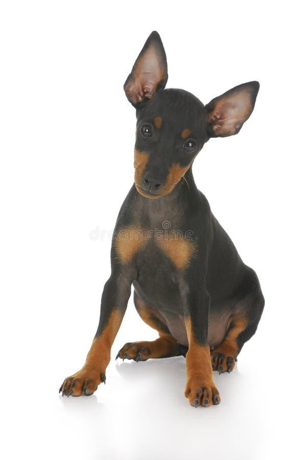Jong puppy stock foto's