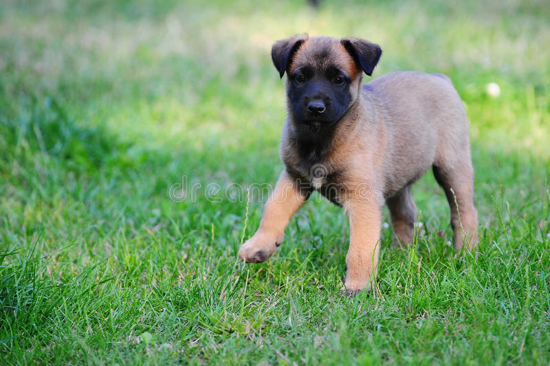 Jong Puppy royalty-vrije stock afbeelding