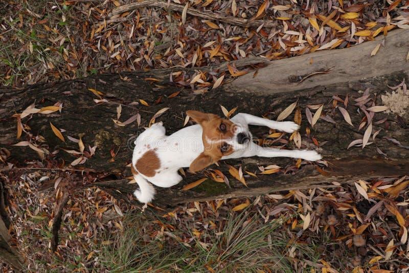 Jong puppy die op boomboomstam liggen die upwards kijken stock foto's