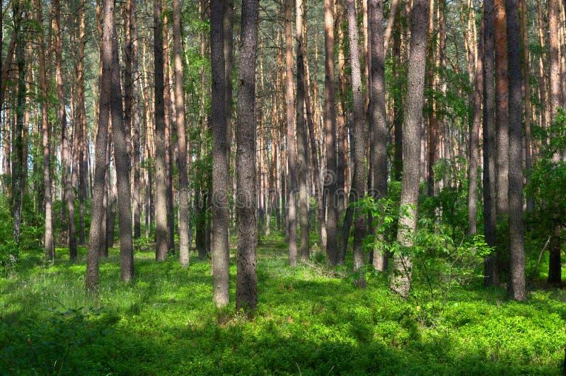Jong reinitiationstadium van pijnboom bosunderstory stock fotografie