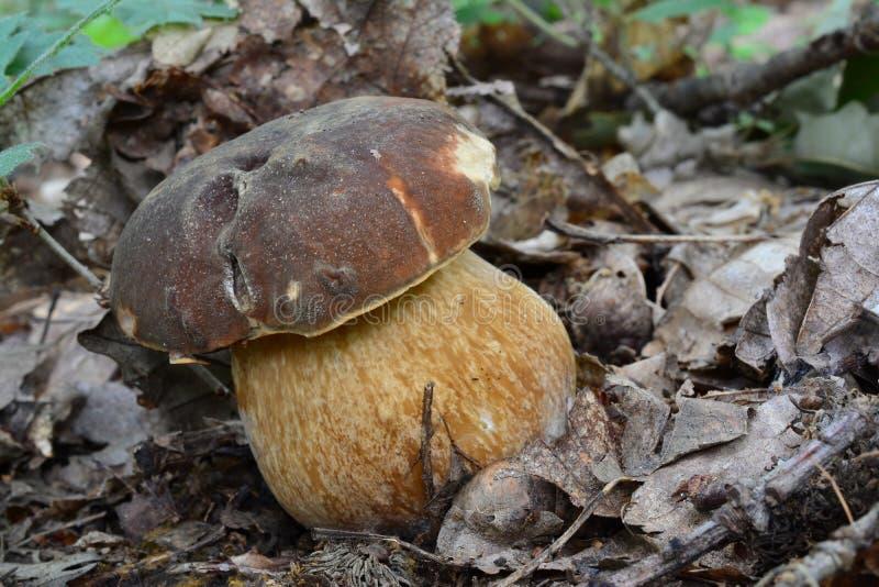 Jong specimen van Boleetaereus of Donkere eekhoorntjesbroodpaddestoel royalty-vrije stock foto's
