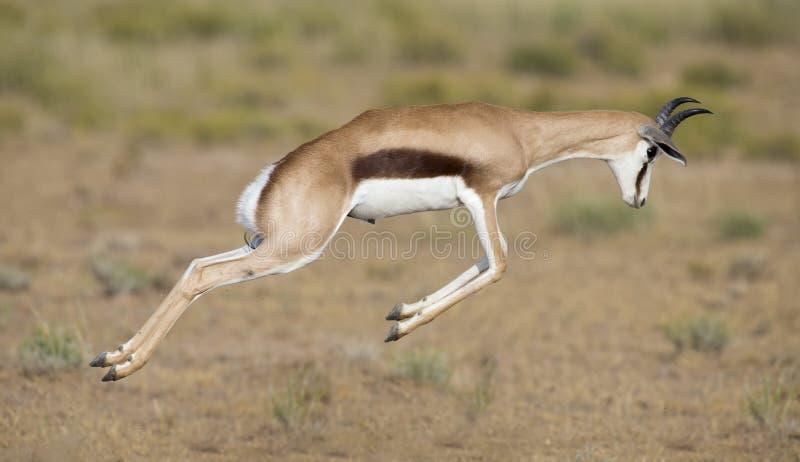 Jong springbokmannetje die op een vlakte in Kgalagadi steigeren stock foto's