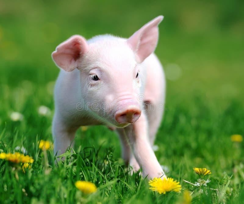 Jong varken in gras stock foto's