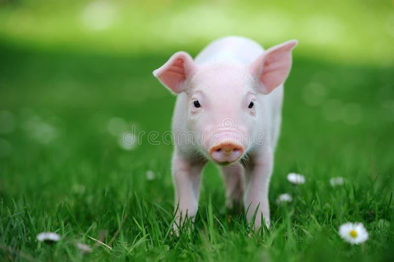 Jong varken in gras royalty-vrije stock foto