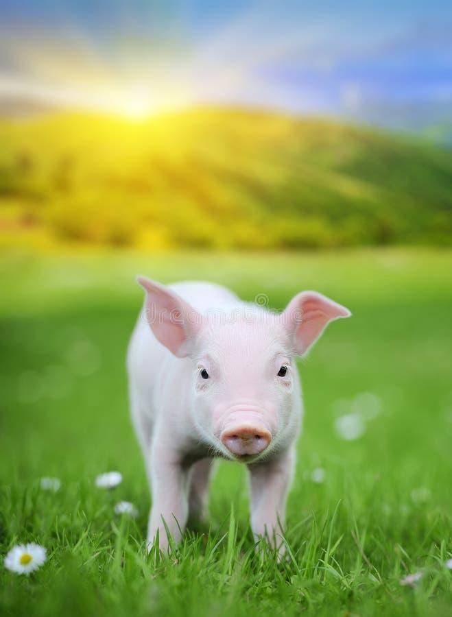 Jong varken op een groen gras royalty-vrije stock afbeelding