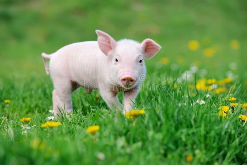 Jong varken op gras stock afbeeldingen