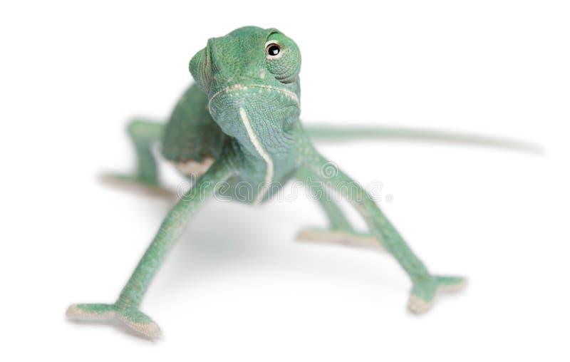 Jong versluierd kameleon, calyptratus Chamaeleo royalty-vrije stock fotografie
