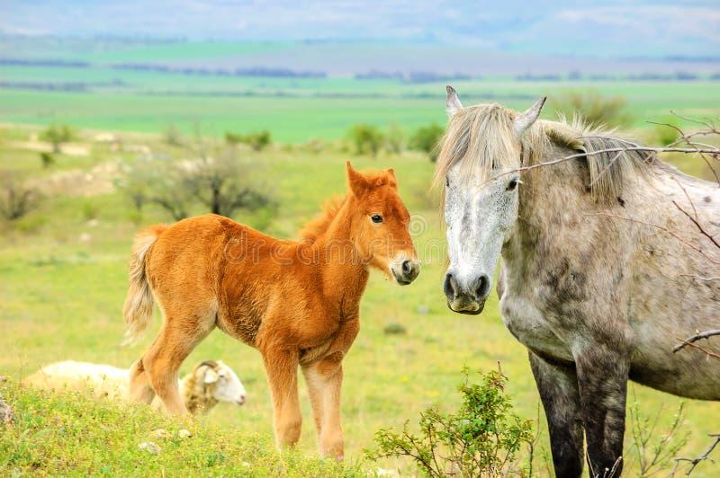 Jong veulen op een gang met een groot paard royalty-vrije stock foto's