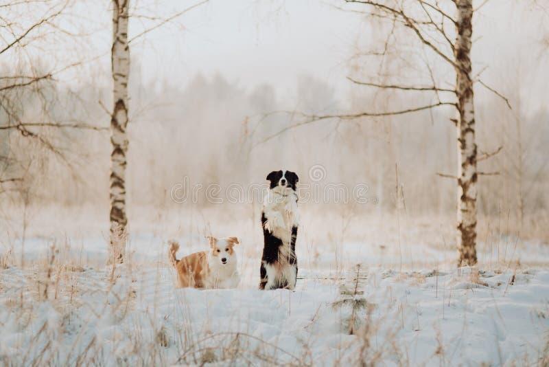 Jong Vrouwelijk zwart-wit Border collie en het rode hondpuppy blijven in Sneeuw tijdens Zonsondergang de winterbos op achtergrond stock foto