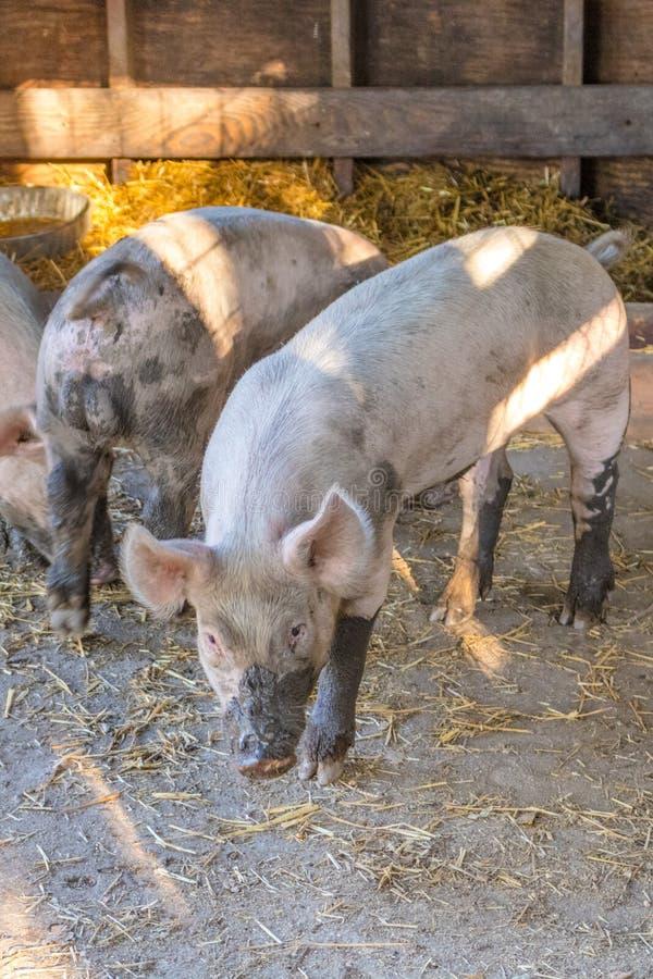 Jong vuil roze binnenlands varken met modderige snuit, afluisteraar en vuile hoofs, verticaal formaat royalty-vrije stock fotografie