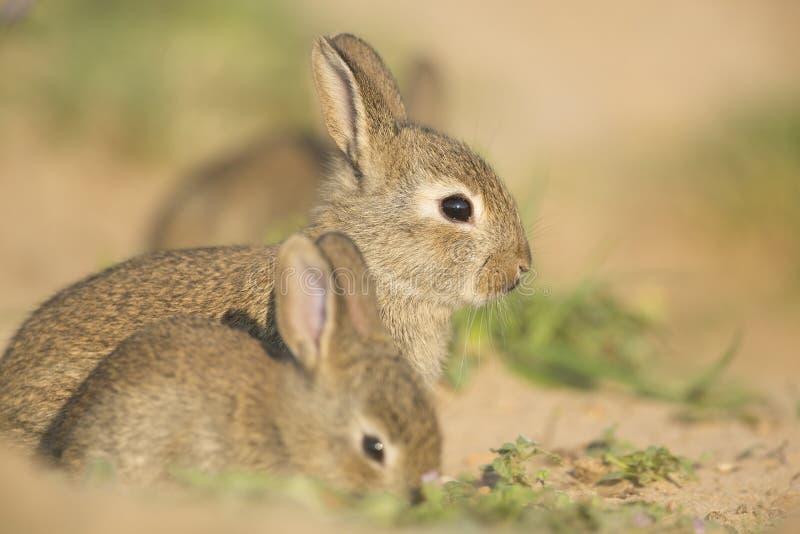 Jong wild konijn stock foto's