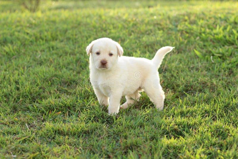 Jong wit puppy stock fotografie