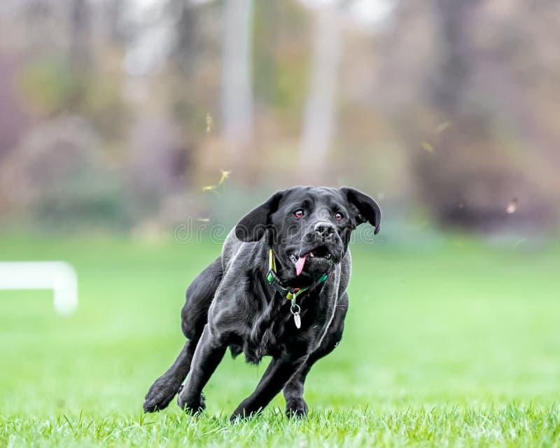 Jong Zwart Labrador die over gras met uit tong lopen royalty-vrije stock afbeeldingen
