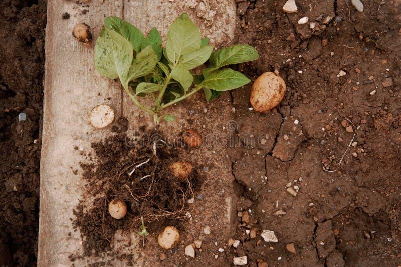 Jonge aardappel op gronddekking installatieclose-up Organische Aardappelcultuur Verse aardappelgroente met knollen in grondvuil royalty-vrije stock foto's