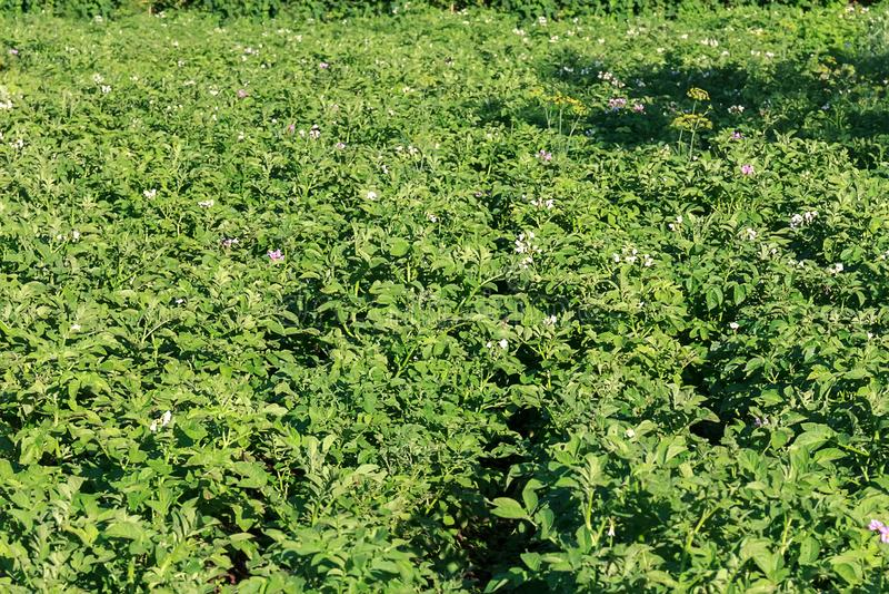 Jonge aardappelplant op het gebied, organisch landbouwbedrijf royalty-vrije stock afbeelding