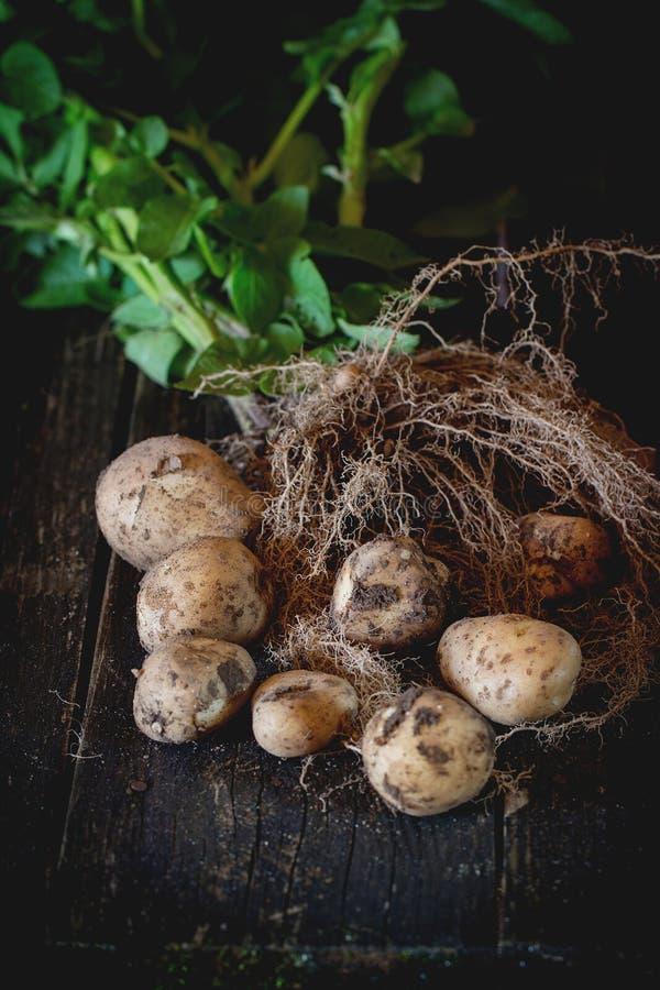 Jonge aardappels met grond royalty-vrije stock fotografie