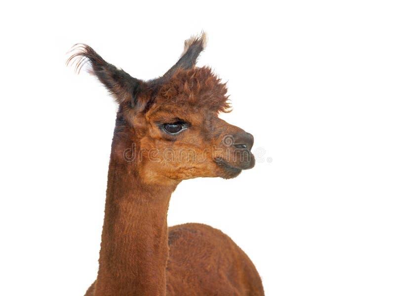 Jonge Alpaca royalty-vrije stock afbeelding