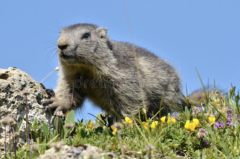 Jonge Alpiene marmot stock afbeeldingen