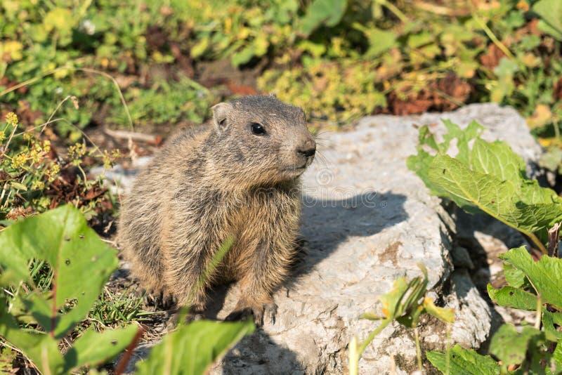 Jonge alpiene marmot in de Europese Alpen royalty-vrije stock foto's