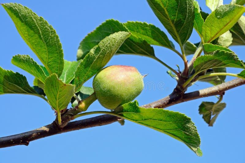 Jonge appel op boom. royalty-vrije stock afbeeldingen