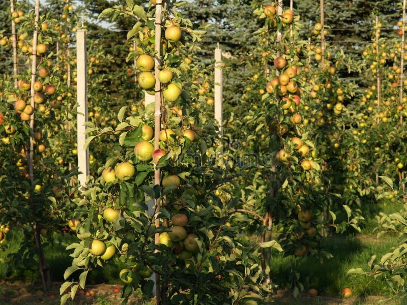 Jonge appelbomen stock afbeeldingen