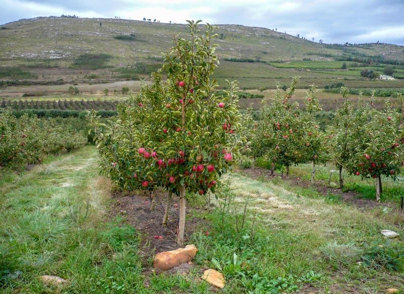 Jonge appelboom in boomgaard met rode appelen in Zuid-Afrika royalty-vrije stock foto
