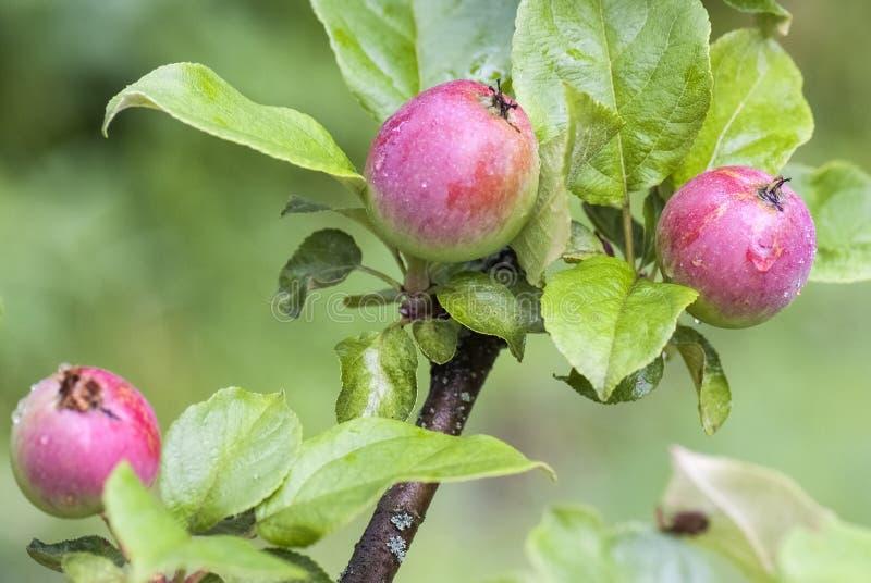 Jonge appelen op een boom royalty-vrije stock foto's