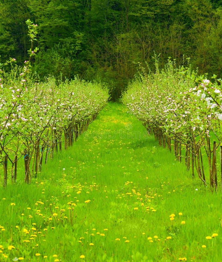 Jonge appeltuin in bloesem royalty-vrije stock foto's