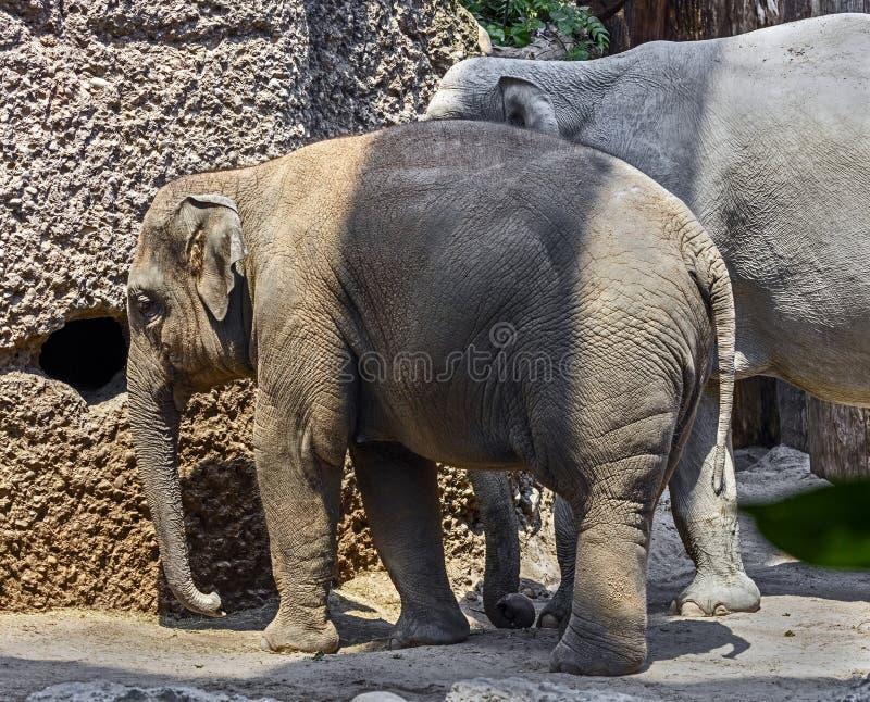 Jonge Aziatische olifant 11 stock fotografie